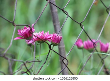 Juxtaposition. The grass is greener on the other side. Old rusted wire fence, pink flowers on the other side against a background of blurred green grass.