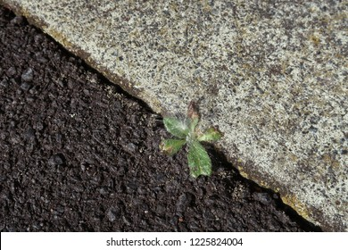 Juxtaposition of a weed growing in between the tarred road and white cement floor with a dandelion to top it of.