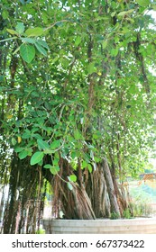 Jyotisar, Kurukshetra, India - June 26, 2017: The sacred banyan tree under which Lord Krishna delivered sermon of Bhagavad Gita to Arjuna to remove his dilemma & prepared him to face Mahabharata War.
