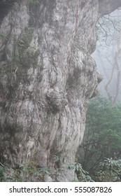 Jyoumon sugi  Jyoumonsugi is the biggest Yaku cedar in Yakushima, kagoshima prefecture, japan. yakushima world heritage site.