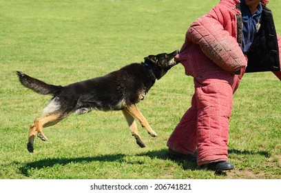 K9 dog in action on training, attack demonstration