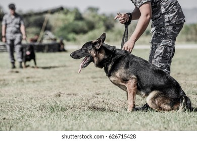 K9 military dog (k-9) Portrait of angry Gray working line German shepherd barking