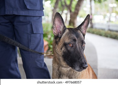 k-9 young german shepherd dog on duty stand beside trainer