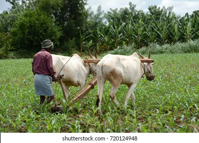 KABINI, INDIA - AUGUST 26, 2017: An Indian farmer ploughing the field using a pair of bullocks.