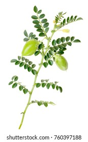 Kabuli Chickpea (Cicer arietinum), plant with pods and leaves. Clipping paths