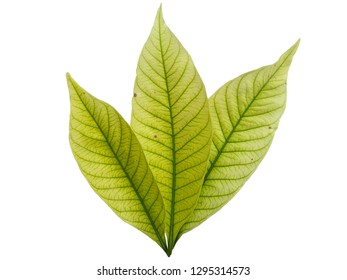 Kacapiring / Gardenia augusta also known as cape jasmine leaves isolated on white background. ( Leaf with white background )