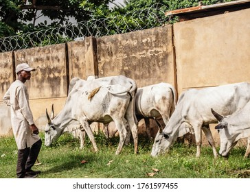 Kaduna, Nigeria - June 11 2020: A cattle herder and his cows. This picture depicts a cattle herder in Nigeria watching his cows grazing.