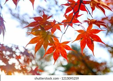 Kaede leaf colored bright red, soul, Korea