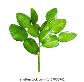 Kaffir, green leafs bergamot ,Leech lime,Mauritius papeda or Bergamot isolated on white background .Scientific name is Citrus hysteria.,Herb.top view.