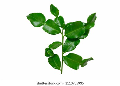 Kaffir, green leafs ,Leech lime,Mauritius papeda or Bergamot isolated on white background with clipping path.Scientific name is Citrus hysteria.,Herb.Top view.