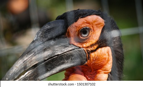 Kaffir horned raven close up.  exotic bird african raven with beautiful eyes