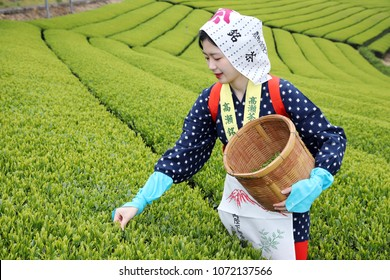 KAGAWA, JAPAN - APRIL 17, 2018: Young japanese woman with traditional clothing kimono harvesting green tea leaves on farmland of tea plantation on April 17, 2018 Mitoyo Kagawa, Japan.