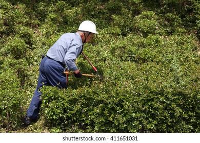 KAGAWA, JAPAN - MAY 22 : Japanese professional gardener pruning a shrub tree with shears on May 22, 2016, Fudonotaki-park, Kagawa, Japan