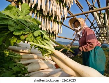 KAGOSHIMA, JAPAN - DECEMBER 2:  An elderly Japanese farmer hangs daikon radish to dry December 2, 2007 in rural Kagoshima, Japan.