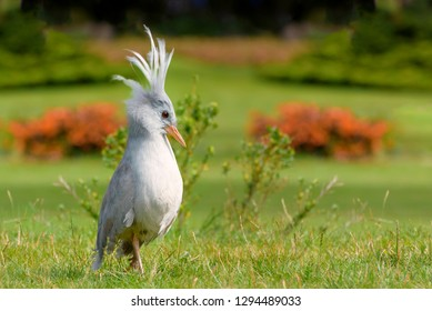 Kagu or cagou, Rhynochetos jubatus is a crested, long-legged, and bluish-grey bird endemic to the dense mountain forests of New Caledonia