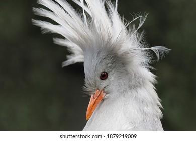 Kagu from New Caledonia, portrait with upright head of feathers, portrait frontal; Rhynochetos jubatus