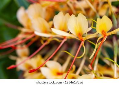 Kahili Ginger flowers in Hawaii