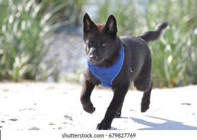 Kai Ken running on beach