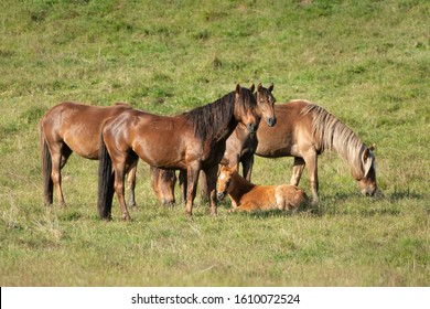 Kaimanawa wild horses standing on the green grassland in the mountain ranges