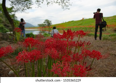 Kaizu Gifu Japan 9 28 2019 The Red Spider  Lily on the banks of the Tsuya River.