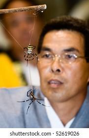 KAJIKI,KAGOSHIMA, JAPAN - JUNE 15: A referee watches two St. Andrew's Cross spiders fighting at the yearly Kajiki kumo gassen (spider-fight) June 15, 2008 in Kajiki, Kagoshima, Japan.