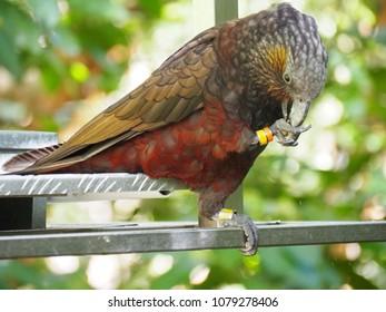 Kaka bird eating