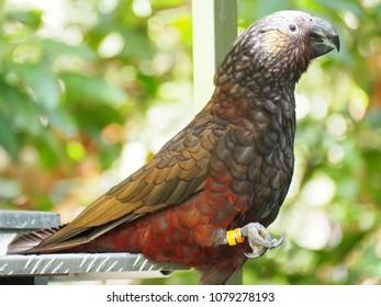 Kaka bird New Zealand