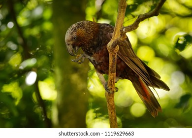 Kaka - Nestor meridionalis - endemic parakeet living in forests of New Zealand.