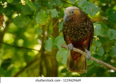 Kaka - Nestor meridionalis - endemic parakeet living in forests of New Zealand.