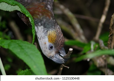 Kaka (Nestor meridionalis). Oban. Steward Island. New Zealand.