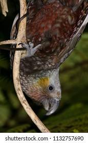 Kaka (Nestor meridionalis). Ulva Island. Rakiura National Park. New Zealand.
