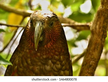 Kaka is New Zealand endemic parrot almost extinct