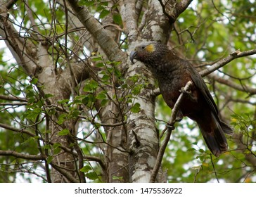 Kaka (New Zealand parrot) on Stewart Island