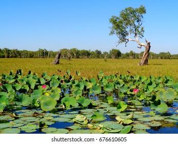 Kakadu national park lily