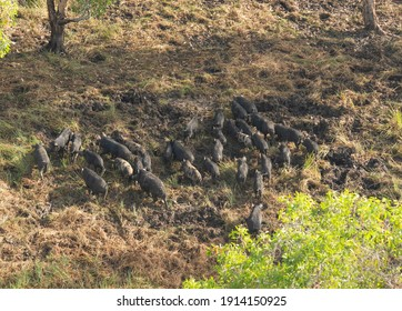 Kakadu National Park Northern Territory, Australia, a large mob of feral wild pigs.