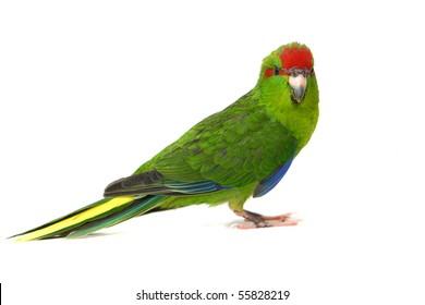 Kakariki parakeet on a white background