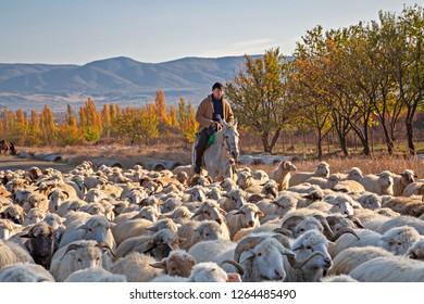 KAKHETI, GEORGIA - NOVEMBER 4, 2017: Georgian man on his horse herds his sheep, in Kakheti, Georgia.