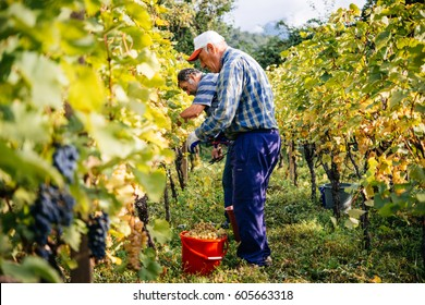 KAKHETI, GEORGIA - SEPTEMBER 30, 2016: Farmers are harvesting grapes in a vineyard in Kakheti region, Georgia.