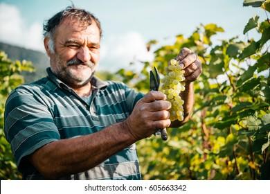 KAKHETI, GEORGIA - SEPTEMBER 30, 2016: Farmers are harvesting grapes in a vineyard in Kakheti region, Georgia.