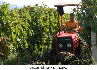 Kakheti Region,  Georgia, September 2009: A man drives a tractor  along a vineyard  during harvest in Kakheti region