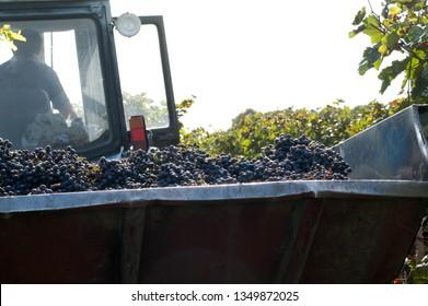 Kakheti region, Georgia, September 2009: Harvested grapes inside a tractor trailer during harvest in Kakheti region, Georgia.