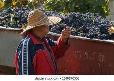 Kakheti region,  September 2009, Georgia: Men work around the vineyards harvesting grapes for wine production in Kakheti region, Georgia.