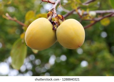 Kaki fruit grows on kaki tree in natural conditions or persimmon tree and fruits.