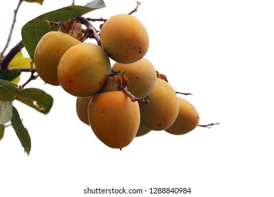 Kaki fruit grows on kaki tree in natural conditions or persimmon tree and fruits, isolated on white background.