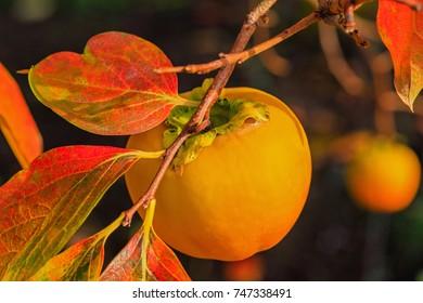 Kaki plum tree, Japanese persimmon,  Diospyros kaki  Lycopersicum. Persimmon  tree with Ripe orange fruits in the autumn garden.