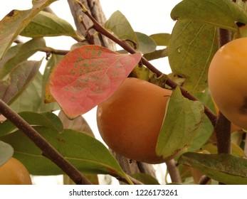 Kaki ripe in autumn