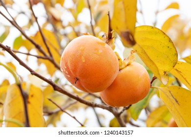 Kaki tree with kaki fruits ready to be harvested. Persimmon tree and fruits in autumn. Diospyros kaki