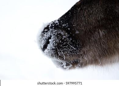 KAKSLAUTTANEN, LAPLAND - January 9th 2016: Reindeer in the snow in Finnish Lapland