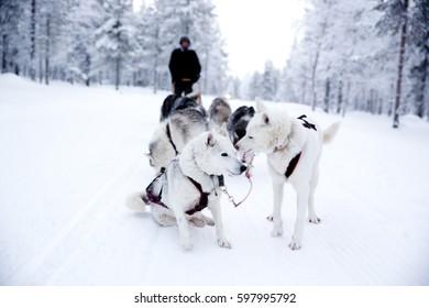 KAKSLAUTTANEN, LAPLAND - January 9th 2016: Husky safari in Finnish Lapland