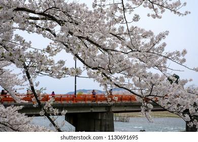 Kakunodate,Akita,Tohoku,Japan on April 27,2018:Fully bloomed cherry blossoms and Yokomachi Bridge across Hinokinai River.(selective focus)